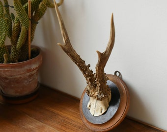 Old deer trophy