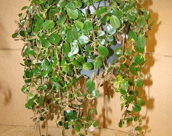 Pilea depressa 17cm Hanging Pot Trailing Succulent
