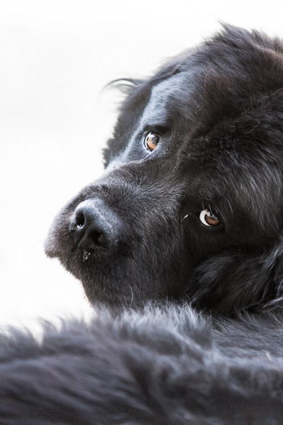 Sad dog photography. Newfoundland dog print. Black and white