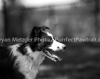 Black and White Collie Profile Portrait Print, Fine Art Photography Print, Purrfect Pawtrait Pet Photography, Animal Photography