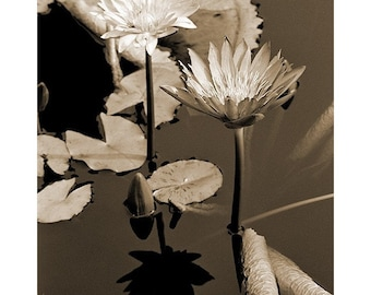 Fine Art Sepia Photography - Botanical Print of Two Waterlilies