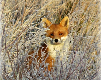Winter fox on a frosty morning, wall art, photo print, Wiltshire, England, donation to Wiltshire Wildlife Trust, wonderful gift