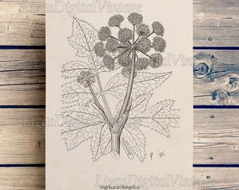 Printable art, Botanical illustration, Garden Angelica, Floral art, Floral print vintage, Antique botanical print, 8x10, 11x14, A3 JPG PNG