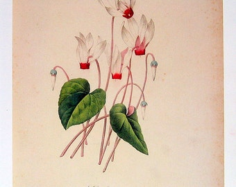 Cyclamen - Redoute Vintage Flower Print - 1979 Book Plate p164