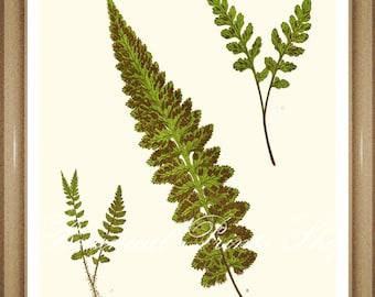 "Fern Print No.19. Asplenium. Vintage Fern Print. Fern Art. Botanical Print, 8x10"""