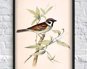 Small Sparrow print vintage bird print bird illustration print bird poster wall art print home decor antique illustration eco 8x12 12x16