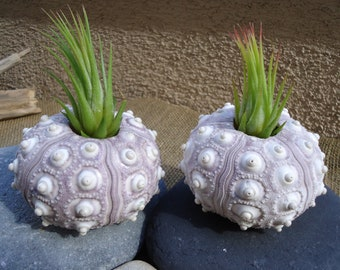 "2""-3"" Purple Sputnik Sea Urchin Shell Perfect for Mounting Tillandsia"