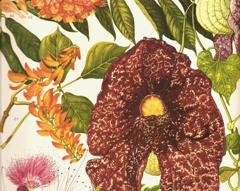 Vintage 1970 Color Art Print Wild Flowers Original Book PLATE 171 Beautiful Large Rose Venesuela Mountain Orange Pink Green Seeds Petals