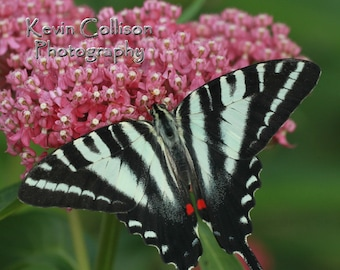 Zebra swallowtail butterfly on rose milkweed