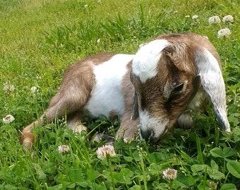 Baby Goat, Taxidermy