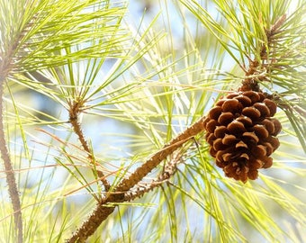 5 x 7, 8 x 8, 8 x 10, 10 x 10, 11 x 14, 16 x 20 Winter Pine Cone Digital Photo Print