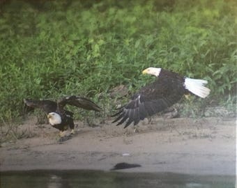 Two bald eagles on the Illinois River
