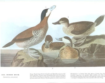 John James Audubon Bird Print - Ruddy Duck - Vintage Natural Science Home Decor Art Illustration Great for Framing