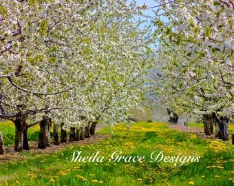 Door County Cherry Blossoms, Egg Harbor, Schartner's, Cherries, Trees, Door County Photography, Spring blossoms