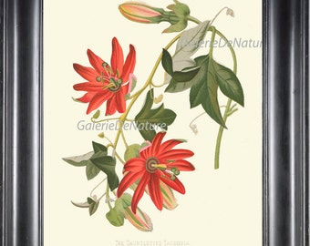 BOTANICAL PRINT Flower Art P18 Beautiful Tacsonia Passion Flower Passiflora Passionflower Antique Tropical Home Decor Illustration to Frame