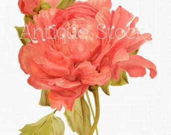 Flower Clipart 'Salmon Tree Peony' Digital Image Botanical Illustration for Collages, Graphic Design, Invitations, Scrapbook, Wall Art...