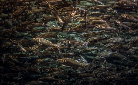 Sea Bass, Sea bass Wall Decor, Fish print, wildlife Photography, Fish photography, Wall Art, Wall Decor, Animal Photography, Sea Bass,