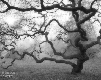 Winter Japanese Maple Tree in Morning Fog Black and White Fine Art Photograph Mist Zen Monochromatic Home Decor Nature Landscape 16X24 Print