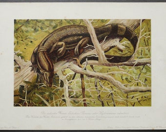 1900 Antique lithograph of an ASIAN WATER MONITOR. Lizard. 118 years old print