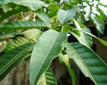 Organic Dried Mango Leaves Leaf Slimming Tea