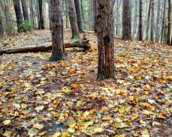 Fallen Autumn Tree Photo, Fall Print, Fall Tree Photo, Autumn, Nature Preserve, Nature Photography, Fall Decor, Fallen Kleinstuck Tree