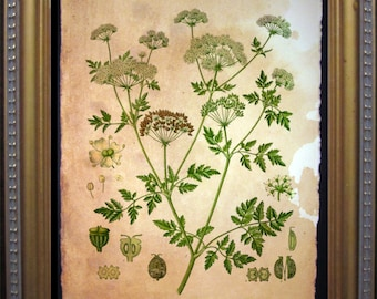 Vintage Hemlock - Hemlock Poisonous Plant Illustration-  on Tea Stained Paper dog art - dog gifts -- father's day gift- graduation gift