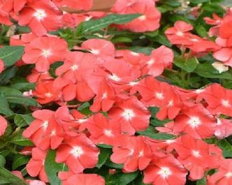 50 Seeds Vinca Sunsplash Peach Seeds