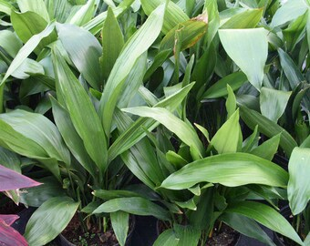 Aspidistra elatior - Cast iron plant - 4 Plants - 2 Feet Tall - Ship Bare Root