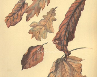 Antique Print Autumn Dead Leaves Edwardian elm chart beautiful wall art vintage color lithograph woodland  flowers illustration 1970 garden