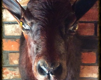 Goat, Mounted Taxidermy. Big, Gorgeous Horns!