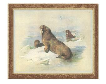 Walrus, Morse, Whale Horse, Vintage Print, Thorburn, 1979/12, Natural History, Woodland, Frameable Art
