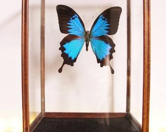 Butterfly in a vintage case