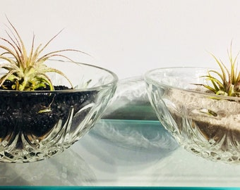 Tillandsia (Air Plant in Crystal Glass Dish