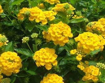 "2 Bright and Sunny!  ""Yellow Trailing"" Lantana   starter plant"