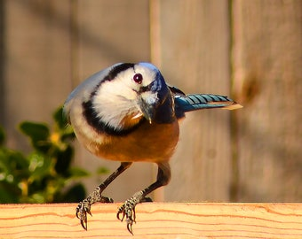Blue Jay Watching Me