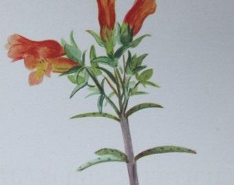 Antique Botanical Print Lithograph Kalanchoe verticillata 1939 Rock Garden Sedum Cactus Succulent Arlette Davids