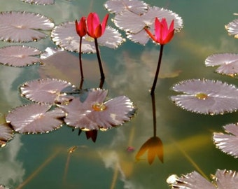 Red Water Lily Pond -  Flower Photograph - Wall Decor - Garden Art - Reflections - Lily Pad  - Red Water Lily - Nature Photograph