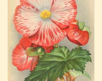 Begonia Vintage card and print