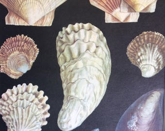 1968 Colourful Vintage Shellfish Print - Mussel - Oyster - Mollusc - matted and ready to frame - 14 x 11 inches - Marine Wildlife