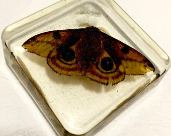 Huge Real Polyphemus Moth Cabochon Creepy Insect Arachnid in Resin Taxidermy Halloween Decoration Arachnology Entomology Specimen A2