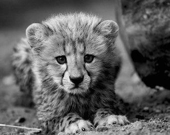 Cheetah Photo - Black & White Baby Animal Photography - Fine Art Wildlife Photo - South Africa Nature - Wall Art  - 5x7 8x10 8x12 Print