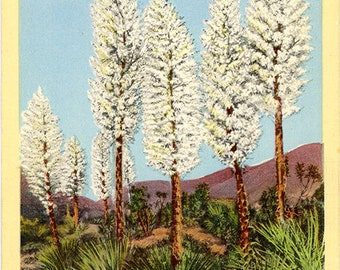 Yuccas in Bloom Southern California Botanical Vintage Postcard 1944