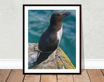 Razorbill Photographic Print / Bird Photograph / Wildlife Photography Image / Wall Art (various sizes and customisation available)
