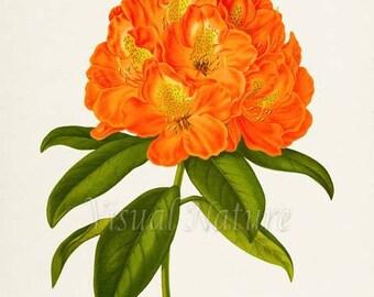 Kate Waterer Flower Art Print, Botanical Art Print, Flower Wall Art, Flower Print, Floral Print, Home Decor, Rhododendron, orange