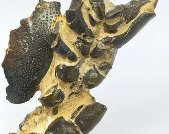 Large Mangrove Lobster Fossil with Headpiece and Eyes from Australia