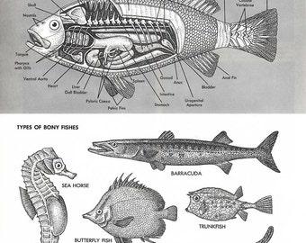 Poisson pages Encyclopédie de 2 Illustrations - vintage noir et blanc des années 1960, la vie marine, illustrations de la nature, biologie, illustrations de l'anatomie de poissons