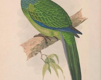 Parakeet vintage bird illustration Digital Download