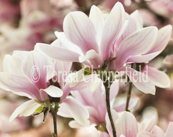 Magnolia Print, Flower Photo Print, Magnolia Photography, Pink Spring Blossom Photo, Floral Wall Art, Pink Spring Flower Home Decor, 5x7