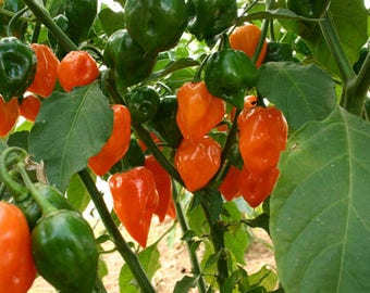 Hot Pepper Plant, Habanero Organic