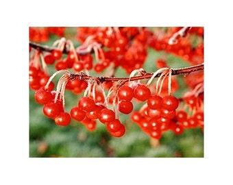 5 Dwarf Crabapple Tree Seeds-1231